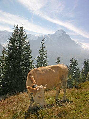 Zdjęcia: Interlaken, Mućka, SZWAJCARIA