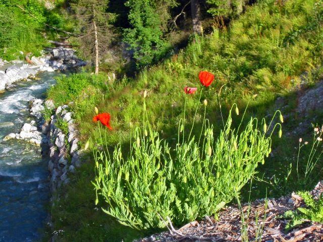 Zdjęcia: Laax, Kwiaty w górach, SZWAJCARIA