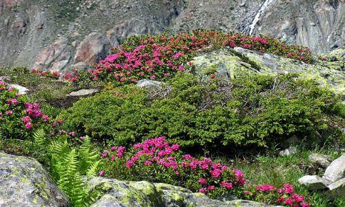 Zdjęcie SZWAJCARIA / Valais / okolice lodowca Aletsch / Przyroda w górach
