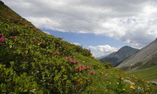 Zdj�cie SZWAJCARIA / Alpy Penni�skie / Alpy Penni�skie / R�e alpejskie