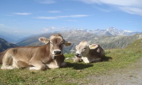 Zdjecie SZWAJCARIA / Furkapass / przełęcz  / Mućki szwajcarskie