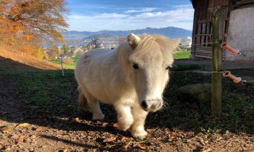 Zdjecie SZWAJCARIA / Schwyz / Altendrof / Alpejski rumak