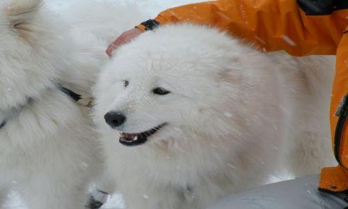 Zdjecie SZWAJCARIA / Jura / Saignelégier / Zawody psich zaprzegow