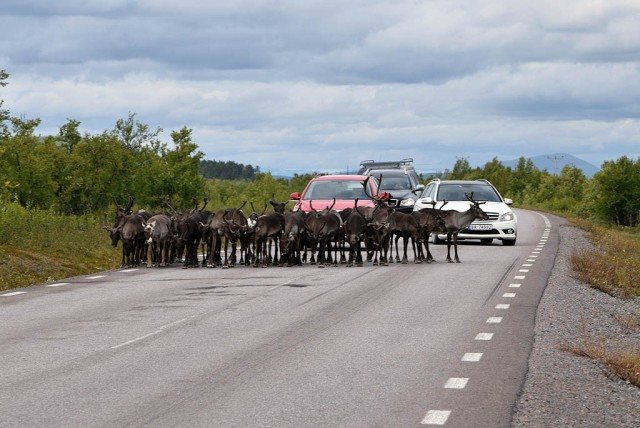 Zdjęcia: Kiruna, Kiruna, Renifery w Laponii, SZWECJA