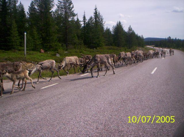 Zdjęcia: Laponia, Renifery na drodze, SZWECJA