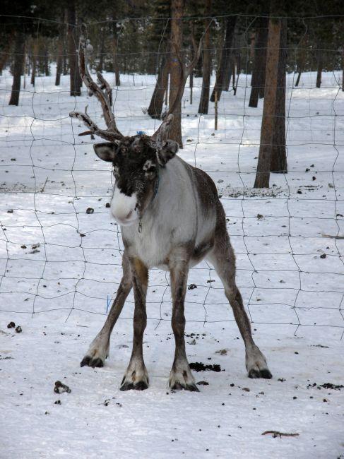 Zdjęcia: Kiruna, Kiruna, reniferem być ;-), SZWECJA