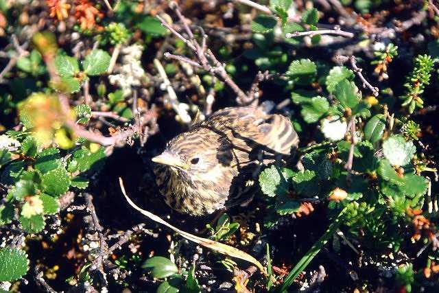 Zdj�cia: na szlaku, Lappland, ptaszek, SZWECJA