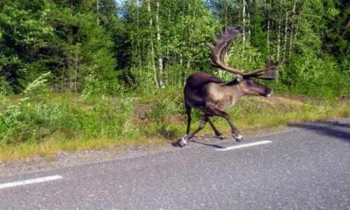 Zdjęcie SZWECJA / Vasterbotten / Okolice Mala-Laponia / Uwaga zawracam