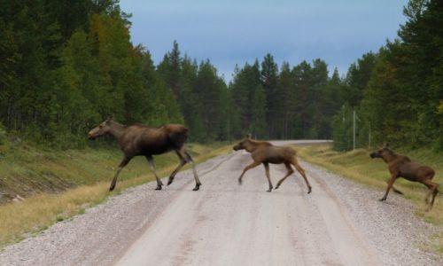 Zdjęcie SZWECJA / północna Szwecja / północna Szwecja / Ustąp pierwszeństwa pieszym!