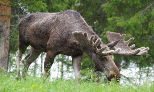 Zdjecie SZWECJA / Laponia / - / spotkanie ze szwedzkim łosiem