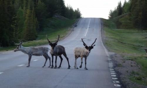 SZWECJA / okolice Arvidsjaur / północna Szwecja / Renifery