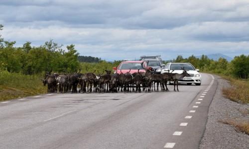 Zdjecie SZWECJA / Kiruna / Kiruna / Renifery w Laponii