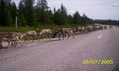 Zdjecie SZWECJA / brak / Laponia / Renifery na drodze