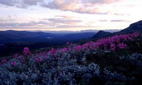 Zdjecie SZWECJA / Lappland / na szlaku / kwieciście