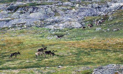 SZWECJA / Lappland / na szlaku / renifery
