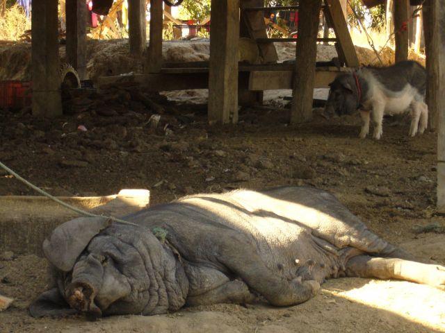 Zdjęcia: Chiang Mai, daleka północ Tajlandii, ZrelakXowana trzoda chlewna, TAJLANDIA