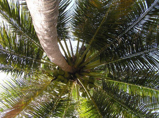 Zdjęcia: Ko Jum, Morze Andamańskie, palma, TAJLANDIA