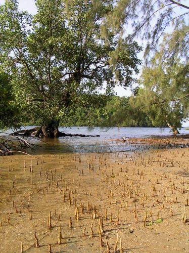 Zdjęcia: Ko Jum, Morze Andamańskie, korzenie oddechowe, TAJLANDIA