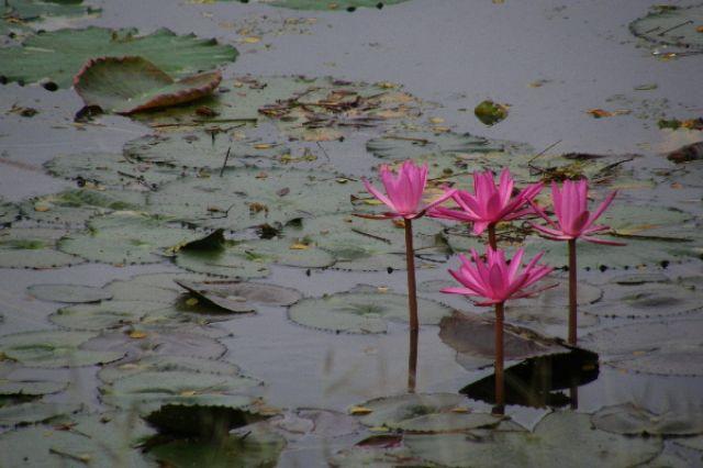 Zdjęcia: Sukothai, lotosy, TAJLANDIA