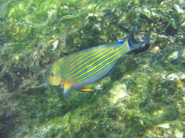 Zdjęcia: Ko Phi Phi, Krabi / Phuket, rybka w paski, TAJLANDIA