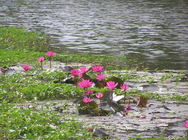 Zdjęcia: Sukhotai, północ Tajlandii, kwiaty Tajlandii 1, TAJLANDIA