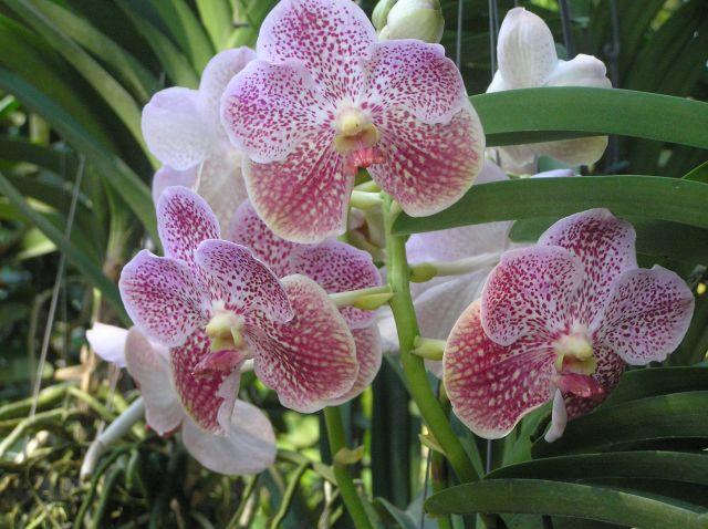 Zdjęcia: okolice Chiang Mai, północ Tajlandii, orchidee, TAJLANDIA