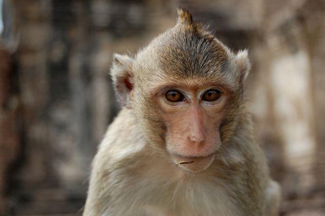 Zdjęcia: Lobpuri, Tajlandia, Lopburi Mohawk Monkey, TAJLANDIA