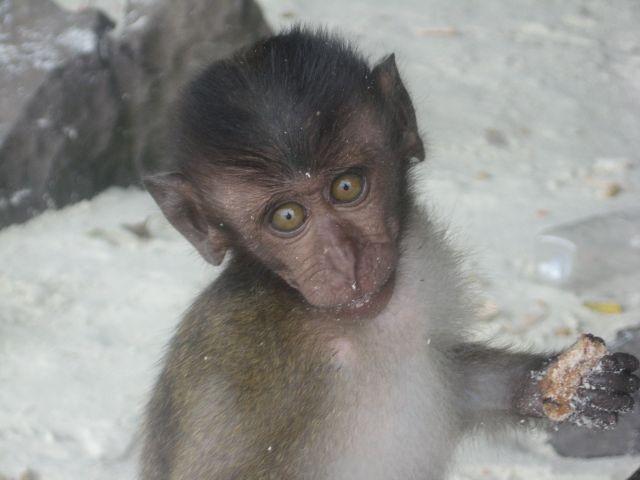 Zdjęcia: Monkey Beach, Phi Phi, malutka małpeczka, TAJLANDIA