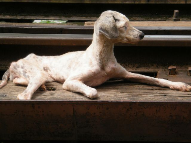 Zdjęcia: Kanchaburi, W Tajladii jest wiele chorych i okaleczonych psow, ktorymi sie nikt nie zajmuje, TAJLANDIA