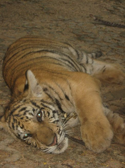 Zdjęcia: Tiger Temple, Kanchanaburi, Piękne maleństwo :), TAJLANDIA