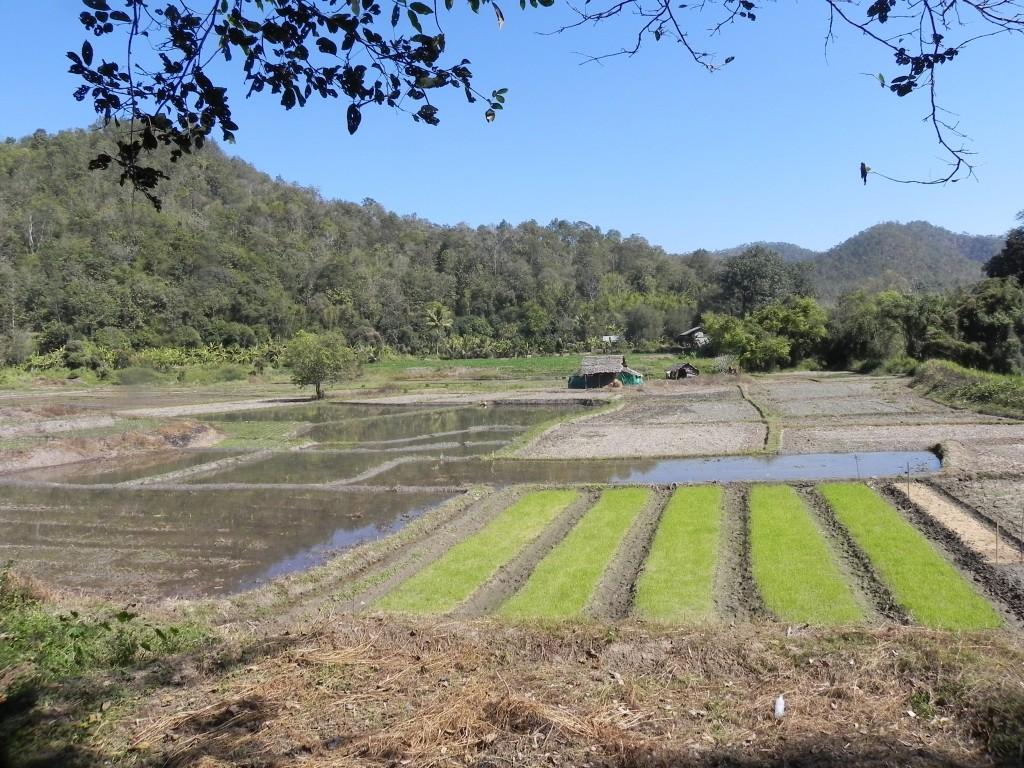 Zdjęcia: .., chiang mai, pola ryżowe, TAJLANDIA