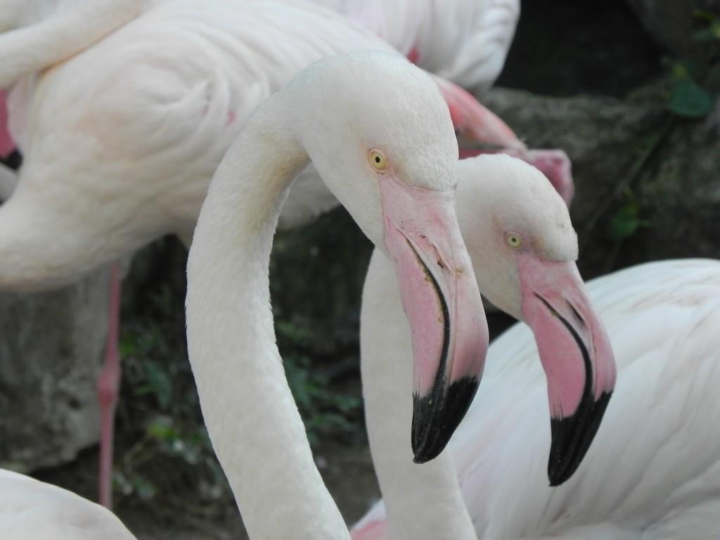 Zdjęcia: .., chiang mai, flamingi, TAJLANDIA