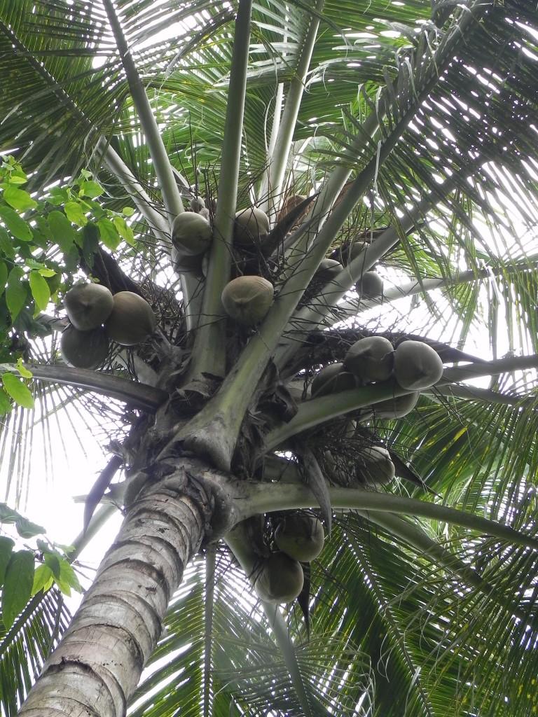 Zdjęcia: .., chiang mai, palma, TAJLANDIA
