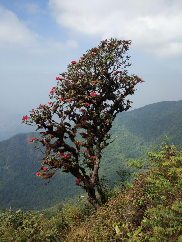 Zdjęcia: Kew Mae Pan Nature Trail, Chiang Mai, Rododendron, drzewo tysiąca róż. , TAJLANDIA