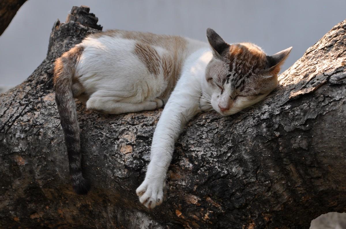 Zdjęcia:  Chiang Mai, północ , W świątynnym ogrodzie - spokojny sen kota, TAJLANDIA