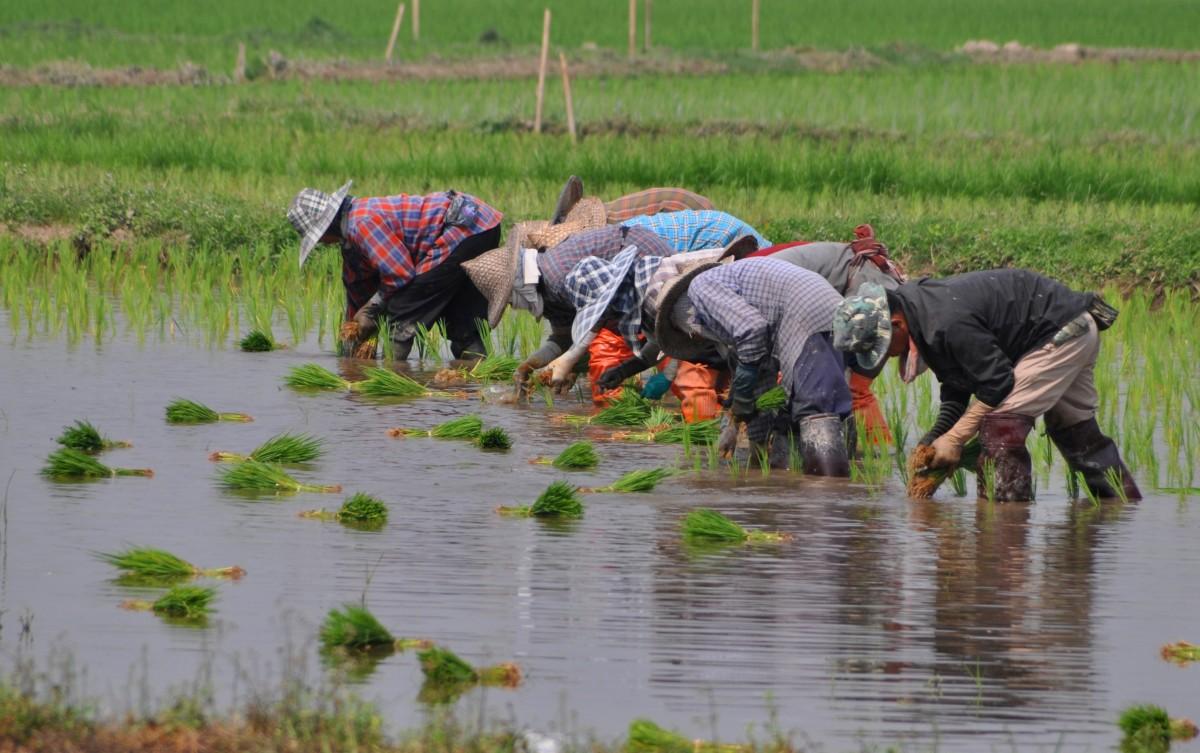 Zdjęcia: gdzieś po drodze, północ, Sadzenie ryżu, TAJLANDIA