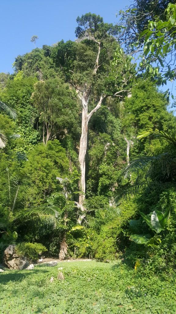 Zdjęcia: Krabi, Krabi, Big tree, TAJLANDIA