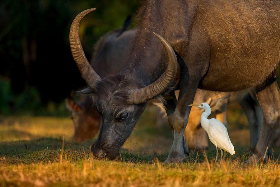 Zdjęcia: Hua Hin, HUA HIN, Czapla złotawa/Cattle egret (Bubulcus ibis),Thailand, TAJLANDIA