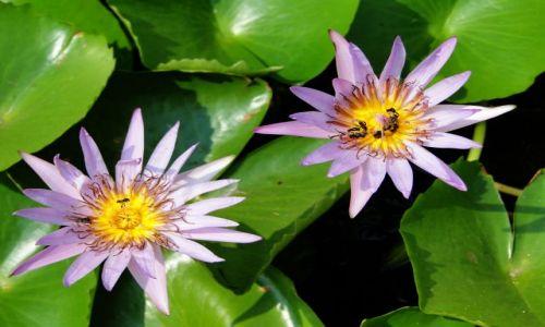 Zdjecie TAJLANDIA / - / Phitsanulok / Kwiat lotosu