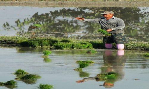 Zdjęcie TAJLANDIA / - / Chiang Rai / Na polu ryżowym