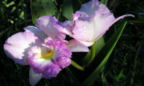 Zdjecie TAJLANDIA / okolice Chiang Mai / okolice Chiang Mai / Orchidee..