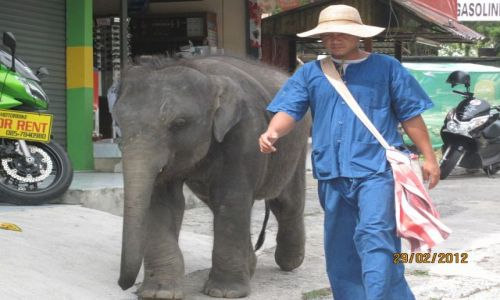 Zdjecie TAJLANDIA / Phuket / Phuket / Everyday walk with elephant