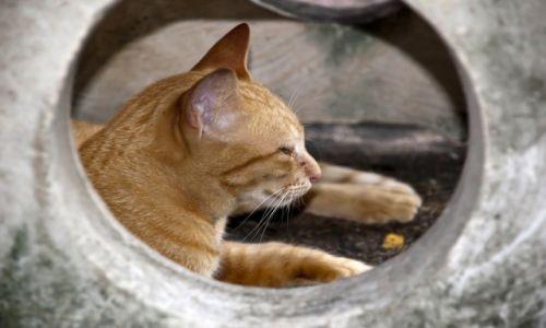 TAJLANDIA / Bangkok / W Świątyni Wat Pho / Rudy tajski kotek