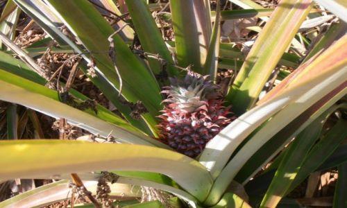 Zdjęcie TAJLANDIA / chiang mai / ... / ananas