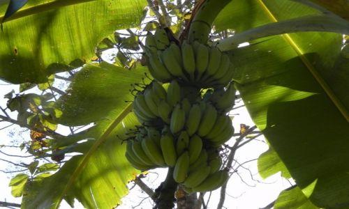 Zdjęcie TAJLANDIA / chiang mai / .. / bananowiec