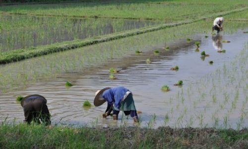 Zdjecie TAJLANDIA / północna tajlandia / droga na pólnoc / Sadzenie ryżu