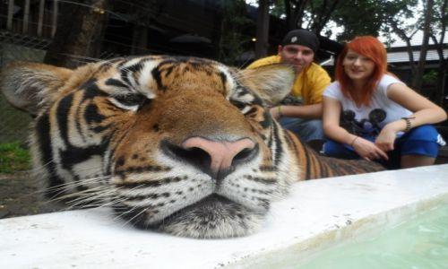 Zdjecie TAJLANDIA / Chiang Mai / Tiger Kingdom / Tiger Kingdom