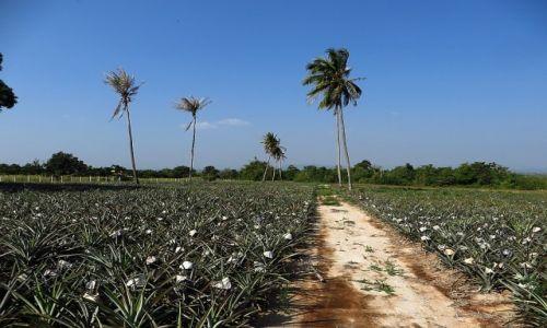 Zdjęcie TAJLANDIA / Zatoka Tajlandzka / okolice Hua Hin / plantacja ananasów