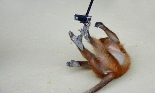 Zdjęcie TAJLANDIA / Koh Phi Phi / Monkey Beach / małpy robią małpie figle..