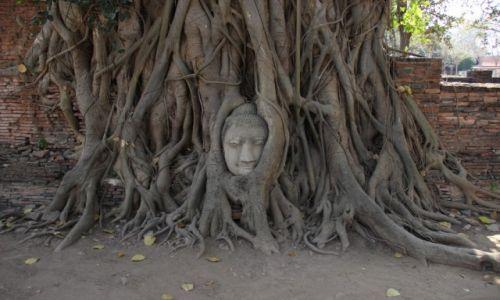 Zdjęcie TAJLANDIA / Ajutthaja / Wat Mahathat / Budda w drzewie